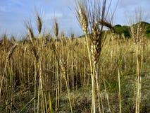 麦子的耳朵 免版税库存图片