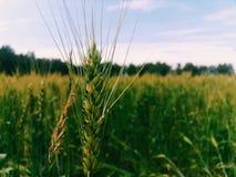 麦子的耳朵 图库摄影