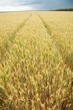 麦子的近景茎 免版税库存照片
