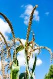 麦子的金耳朵反对蓝天和云彩特写镜头的 免版税库存照片