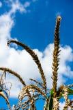 麦子的金耳朵反对蓝天和云彩特写镜头的 免版税库存图片