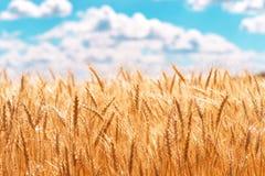 麦子的金耳朵反对蓝天和云彩的 库存图片