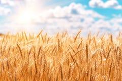 麦子的金耳朵反对蓝天和云彩的 库存照片