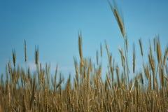 麦子的金耳朵反对蓝天和云彩软的焦点,特写镜头,农业背景的 图库摄影