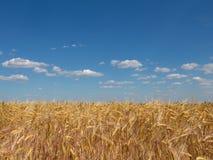 麦子的金耳朵在黄色领域的 图库摄影
