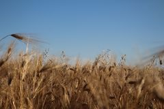 麦子的金黄耳朵在成熟五谷重压下增长 免版税库存照片