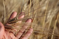 麦子的金黄耳朵在手中 免版税库存图片