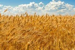 麦子的金黄耳朵在天空背景的与云彩的 库存照片