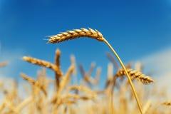麦子的金黄耳朵在领域的在深蓝天下 免版税库存照片