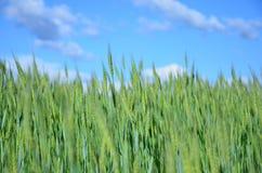 麦子的绿色小尖峰在领域的 免版税图库摄影