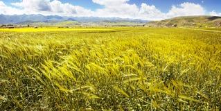 麦子的黄色耳朵的全景在花谷的  免版税图库摄影