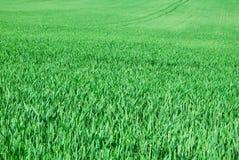 年轻麦子的绿色领域在春天 免版税库存图片