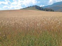 麦子种田 免版税库存照片