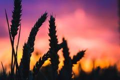 麦子秸杆剪影在日落后面光的 橙色和紫罗兰色colourd天空 上色生动 免版税库存图片