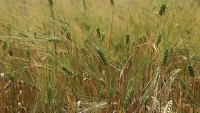 麦子粮食作物领域在一个晴天 股票录像
