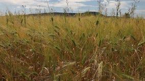 麦子粮食作物领域在一个晴天 影视素材