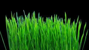 麦子绿色新芽增长,与阿尔法通道的定期流逝 股票视频