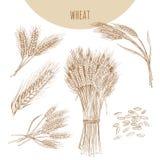麦子耳朵、捆和五谷 谷物速写手拉的图画 免版税图库摄影