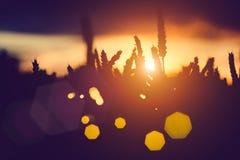 麦子耳朵剪影和在日落的草秸杆点燃 被点燃的自然光 美丽的有角太阳飘动bokeh 库存图片