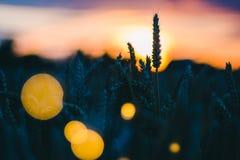 麦子耳朵剪影在一个领域的在晚上光 被点燃的日落火光和后面 美丽的太阳飘动在前面的bokeh 免版税库存照片