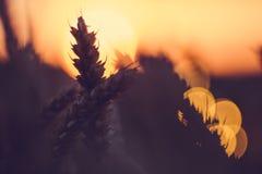 麦子耳朵剪影在太阳球前面的 被点燃的日落光 美丽的太阳飘动bokeh 图库摄影