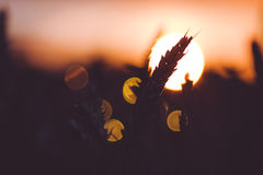 麦子耳朵剪影在太阳球前面的 被点燃的日落光 美丽的太阳飘动bokeh 免版税图库摄影
