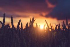 麦子耳朵剪影在温暖的日落光的 被点燃的自然光 美丽的太阳飘动bokeh 免版税库存图片