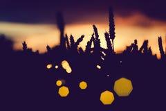 麦子耳朵剪影有太阳火光的 回到背景特写镜头锥体被点燃的杉木白色 美丽的有角太阳飘动bokeh 库存图片
