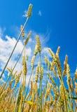 麦子耳朵和多云天空 免版税库存图片