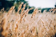 麦子耳朵和草本 库存照片