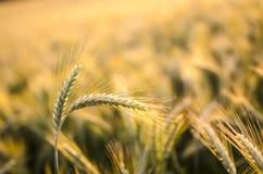 麦子耳朵在夏天 库存照片