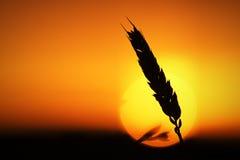 麦子耳朵在阳光下 免版税库存照片