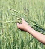 麦子耳朵妇女手 免版税库存图片
