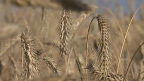 麦子耳朵或谷物 股票视频