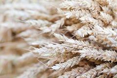 麦子耳朵茎花束宏观视图照片 浅景深,选择聚焦 免版税库存图片
