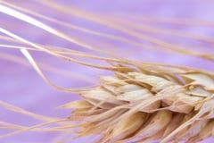 麦子耳朵,在桃红色背景隔绝的成熟小尖峰,特写镜头,抽象背景 库存照片