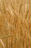 麦子背景 库存照片