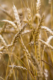 麦子茎 库存照片