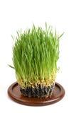 麦子草 库存图片