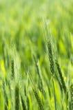 年轻麦子近距离 免版税图库摄影