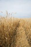 麦子金黄领域 库存图片