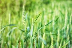 麦子钉在领域在夏天或有阳光的早期的春天是绿色的在一明亮的天 免版税库存图片