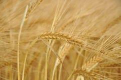麦子钉 免版税图库摄影