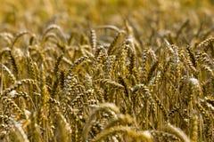 麦子领域的特写镜头 库存图片