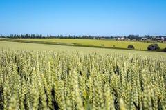 麦子风景与一个五谷充满的小尖峰的在其他领域和蓝天背景  免版税库存图片