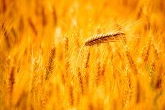 麦子香料 库存图片