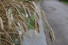 麦子麦翁之类的鸣禽种植倾斜往路 免版税库存照片