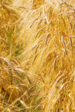 麦子黄色 库存图片