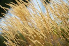 麦子黄色 图库摄影