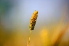 麦子,农业, 库存图片